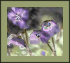 Difusas (seguicollar) Tags: flower flor flores malva morado verde imagencreativa photomanipulación art arte artecreativo artedigital virginiaseguí