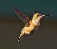 Rufous Hummingbird (richmondbrian) Tags: rufous hummingbird