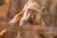 Monkey (Anahita Hashmani) Tags: tourism animal animals photography zoo monkey dubai photographer tour wildlife uae breeding captivity dubaizoo femalephotographer anahitahashmani