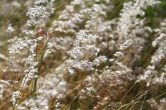 windy flower (Nuch_>cha) Tags: summer white flower nature beautiful field grass season spring focus soft natural wind sensitive free windy blowing fresh blow blew