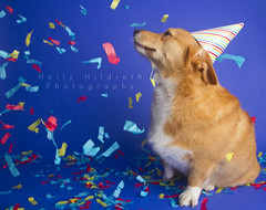 Happy Happy Birthday (hhildrethphoto) Tags: birthday columbus ohio party usa dog pets holiday smiling animals puppy studio fun pembroke happy photography corgi midwest funny humorous expression hats happiness wideangle confetti celebration third welsh partyhat streamers northeast celebrating 1635mm canon7d