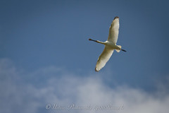 lepelaar / eurasian spoonbill (nature photography by 3620ronny.be) Tags: holland nature birds canon nederland vogels natuur zuid lexmond naturephotography zuidholland lepelaar lepelaars natuurgebied eurasianspoonbill southholland natuurfotografie natuurgebieden zouweboezem canon7d 3620ronny canonef300mmlf4 purperreigerwandeling