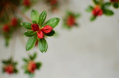 azalea budding abstract (Alissa Holland) Tags: flowers red abstract green nature 35mm garden botanical grey spring nikon bokeh gardening michigan gray may spots evergreen rhododendron flowering buds spotted azalea shrub minimalism budding 2013