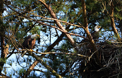 Hey Whats That (Andy Prince) Tags: nature wildlife eagles baldeagles