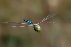 Blue emperor (Lus Louro) Tags: portugal nature animals ilovenature wings nikon dragonflies wildlife insects bugs predator louro odonata anisoptera anax