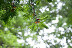 SOOC Pine Tips (Orbmiser) Tags: rain pine oregon portland spring nikon branches raindrops needles raining d90 sooc 55200vr