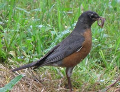 American Robin (tlhowes2012) Tags: backyardbirds
