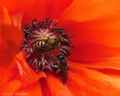 Busy heart ( Annieta ) Tags: red holiday flower macro fleur canon bug germany insect rouge bayern vakantie flora powershot mei fiore rood klaproos allrightsreserved duitsland papaver bloem rothenfels 2013 annieta macromarvels sx30is usingthispicturewithoutmypermissionisillegal
