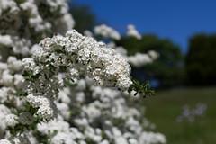 Bokeh flox (Sharon's Shotz) Tags: flowers trees ontario canada grass 50mm spring bush bokeh kingston wildflowers canon50mm flox niftyfifty cfbkingston canoneos7d canadianforcesbasekingston canon7d