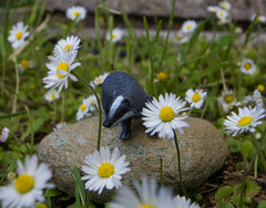 What the...? (HelenL100) Tags: daisies miniature badger