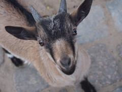 Mischievous Goat (jennygriffiths1) Tags: baby berlin zoo kid menacing goat mischievous