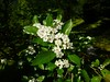 Crataegus punctata Jacq. 1770 (ROSACEAE) (helicongus) Tags: spain rosaceae crataegus crataeguspunctata jardínbotánicodeiturraran