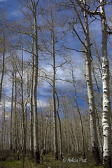 The Magic Aspen Grove (San Francisco Gal) Tags: cloud tree nature landscape utah spring grove trunk aspen lasalmountains populustremuloides warnerlake vigilantphotographersunite vpu2 vpu3 vpu4 vpu5 vpu6 vpu7 vpu8 vpu10
