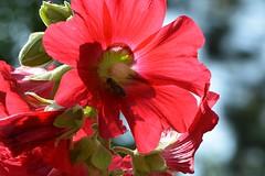 Durchscheinend (deta k) Tags: flowers macro berlin germany deutschland flora natur pflanzen blumen insekten blten nikond7100