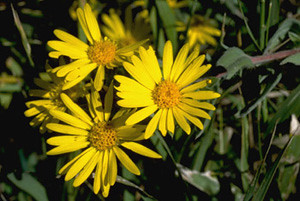 Photo - Golden Aster