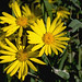 Photo tagged with Goldenaster