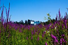 IMG_0080 (derek e salvus) Tags: flowers flower oregon portland oaks oaksbottom