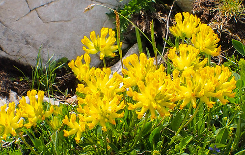 Yellow Flowers in the Alps!