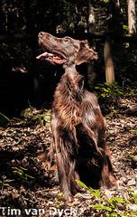 Flat Coated Retriever (TvD2202) Tags: dog flat great retriever easy lovely dor coated