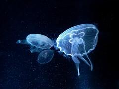 La danse de la mduse. Dance of medusa (Amiela40) Tags: medusa meduse greatphotographers artdigital bestcapturesaoi elitegalleryaoi