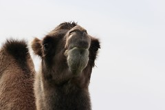 15.08.13 Highland Wildlife Park - Camel with 'Attitude'! (chestergeorgie) Tags: animal cross wildlife camel