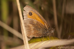 """Meadow Brown Butterfly.... • <a style=""""font-size:0.8em;"""" href=""""http://www.flickr.com/photos/57024565@N00/9606335959/"""" target=""""_blank"""">View on Flickr</a>"""