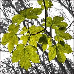maple leaves (ginger_scallywag) Tags: uk bridge flowers trees england bw panorama nature water leaves bluebells barn canon river eos waterfall maple durham riverside buttercup rusty style monotone cecily ash layers bracken steppingstones ferns tamron northeast footpath stitched hawthorn blending axle cowslip lowforce rivertees cs6 lordbarnard eos40d gibsonscave tamron17300