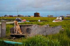 Dog, Sitting on Snowmachine Sled (Dr_Moriarty) Tags: red dog green animal alaska bush village unitedstates teal sled tundra kipnuk 2013
