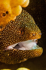 moray2July21-13 (divindk) Tags: ocean sea color coral hawaii dangerous marine underwater teeth diving maui jaws scubadiving hunter eel reef morayeel fearsome underwaterphotography kahekilibeach hawaiianislands airportbeach gymnothoraxmeleagris whitemouthmoray