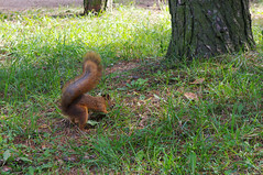 Orav pähklit peitmas (Jaan Keinaste) Tags: squirrel tallinn estonia pentax eesti k7 orav mustamäe pentaxk7