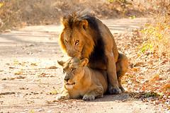 lions mating 2 (Russell Scott Images) Tags: zambiakafuenationalparklionsmating katangalionpantheraleosspbleyenberghi southwestafricanlion russellscottimages