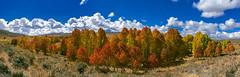 Autumn Aspen Grove - Large Panorama (Darvin Atkeson) Tags: california autumn mountains color fall creek desert grove conway nevada sierra summit aspen easternsierra darvin atkeson darv liquidmoonlightcom