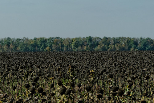 Taganrog Sunflower Field