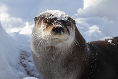 River Otter in the Snow (Mark Dumont) Tags: snow animals river zoo mark cincinnati otter dumont