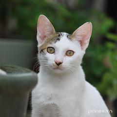 5,5 month old kitten (pinnee.) Tags: catrang cabong acat cats kittens kitten cuteanimal cuteanimals