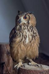 Owl (Christian R. Hamacher (Je suis Charlie)) Tags: christmas market medieval owl luxemburg damncool dudelange