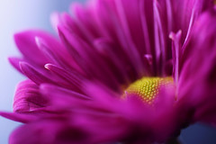 Happy New Year! (j man.) Tags: life lighting pink friends light holiday flower color macro art texture nature floral colors beautiful closeup composition lens photography cool focus flickr dof blossom pov background sony details perspective favorites clarity blurred 11 depthoffield pointofview sp ii views di if daisy f2 tamron comments ld slt happynewyear jman macrophotography ruleofthirds af60mm mygearandme flickrbronzetrophygroup a65v