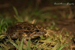 Discoglossus galganoi (David Herrero Glez.) Tags: wild naturaleza david nature animals la sony so