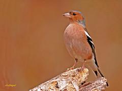 Pinzón vulgar (Fringilla coelebs) (eb3alfmiguel) Tags: aves pinzón vulgar pájaros