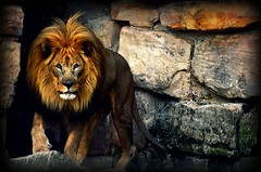Fort Worth Zoo, Texas (m.sadarangani) Tags: animals zoo lion