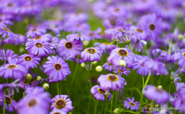 Purple Flowers Against Green Grass, At Leisure Valley, Gurgaon