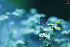 >>> Butterfly <<< (Jaekeun Song) Tags: butterfly korea silverstuddedblue mygearandme mygearandmepremium mygearandmebronze photographyforrecreationeliteclub