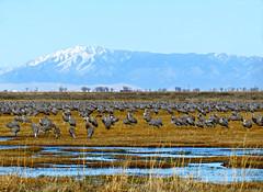 Sandhill Cranes in Colorado (Colorado Sands) Tags: wild usa mountains birds america us spring colorado unitedstates wildlife aves cranes american rockymou