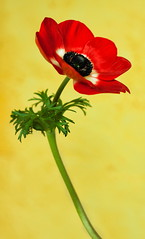 The essence of contrast (uhx72) Tags: red flower macro nature anemone