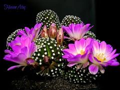 Mammillaria Luethyi (Hasan Ataç) Tags: