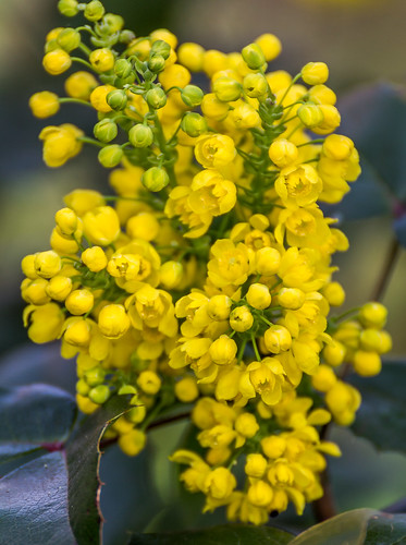 Mahonia aquifolium -Oregon grape- - Mahónie cesmínolistá