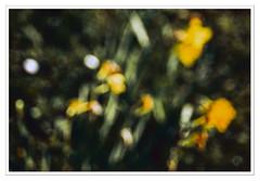 colores de primavera en el jardn (5) (Ramn Medina) Tags: flowers abstract blur flores verde green yellow amarillo abstracto garten impressionistic icm jardn narcissus desenfocado narcisos impresionista intentionalcameramovement