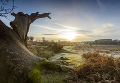 Weathered Tree (John__Hull) Tags: tree weathered gnarled sunrise morning bradgate park nikon d3200 sigma 1020mm newtown linford leicestershire frost bracken ferns ruins house breath taking landscapes