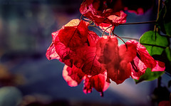 A Shaft of Light Shineth Upon Her Beauty (JDS Fine Art Photography) Tags: macro closeup nature leaves plants red illumination naturesbeauty inspirational light beauty naturalbeauty