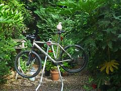 Racing Pigeon (ArtGordon1) Tags: woodpigeon bird avian marin cycle bicycle atb mtb davegordon davidgordon daveartgordon davidagordon daveagordon artgordon1 walthamstow london england uk e17 garden